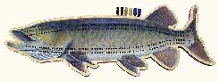 CRIBBAGE BOARDS: MUSKY